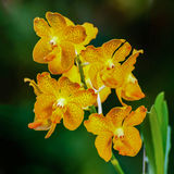 Orange Orchid flower- Vanda Royalty Free Stock Image
