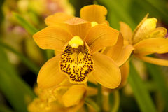 Orange orchid flowers Stock Photos