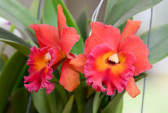 Orange orchid flowers Royalty Free Stock Photo