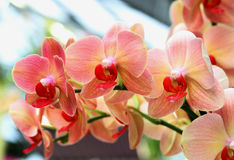 Orange orchid flowers in botanical garden Royalty Free Stock Photos