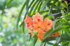 Orange orchid flowers Stock Photo