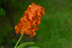 Orange Orchid flowers look fresh. Royalty Free Stock Images