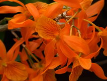Orange Orchid Flowers Stock Images