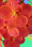 Orange orchid flowers in the nature Stock Images