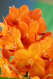 Orange orchid flowers in the nature Royalty Free Stock Photo