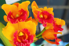 Orange orchid flowers in the nature Royalty Free Stock Photography