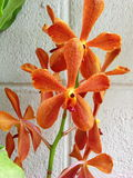Orange orchid Royalty Free Stock Photos