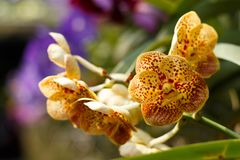 Orange orchid in the garden, near Chang Mai, Thailand. Fresh. Colorful-2 stock photography