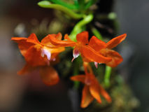 Orange orchid in the grey. Orange orchid blossom in the grey background stock photos
