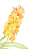 Orange orchid Stock Photos