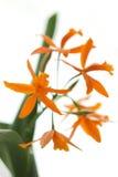 Orange orchid (lelia) Stock Photos
