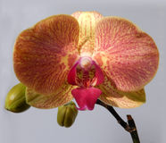Orange orchid Royalty Free Stock Photo