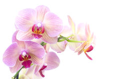 Orange orchid in the pot isolated Stock Photos