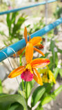 Orange Orchidee Lizenzfreie Stockfotos