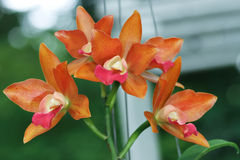 Orange Orchidee Lizenzfreie Stockbilder