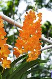 Orange Orchideen Stockfoto