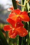 Orange Orchideen Stockbild