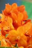 Orange Orchideenblumen in der Natur Lizenzfreies Stockfoto