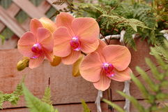 Orange Orchids Royalty Free Stock Photography