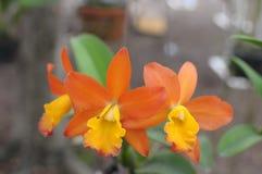 orange orchids Royaltyfri Foto