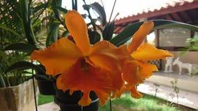 Orange Orchids flower stock image