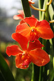 Orange Orchids. In the garden Stock Image