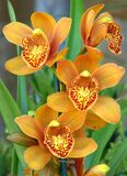 orange orchids with speckled beards Royalty Free Stock Image