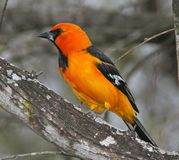 Orange oriole