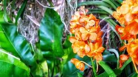 Orange orkidé på en grön suddig bakgrund i en trädgård royaltyfria foton