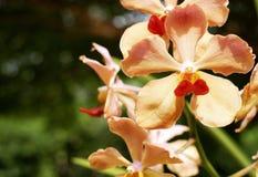 Orange orkidé som blommar i trädgård royaltyfria foton