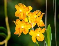 Orange orkidéblomma Vanda Arkivfoto