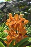 Orange orkidéblommabild Arkivbild