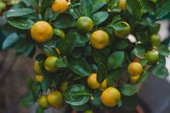 Orange ornementale de Calamondin d'arbre Photo stock
