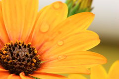 Orange Osteospermum with water droplets Royalty Free Stock Images