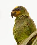 Orange-påskyndad papegojastående Royaltyfria Foton