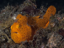 Orange Painted Frogfish Royalty Free Stock Images