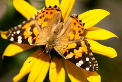 Orange Painted Lady Butterfly. An orange and black painted lady butterfly pollinates a yellow sunflower royalty free stock photography