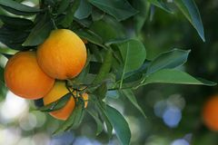 Orange pair. Pair of ripe oranges on a tree royalty free stock photo