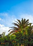 Orange and palm tree. Close up Royalty Free Stock Images