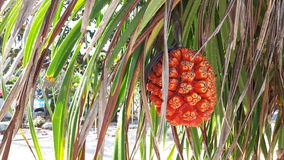 Orange Pandanusfrucht und die Blätter mit den Dornen Stockbild