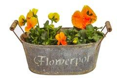 Orange pansies Stock Image
