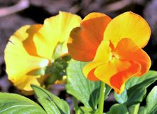 Orange Pansies Close-up. Close-up of two bright orange pansies, as they grow back to back, in late afternoon light royalty free stock images