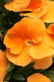Orange Pansies Royalty Free Stock Photo