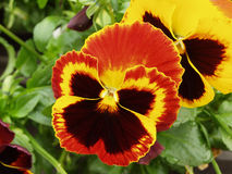 Orange Pansy. Early spring flower Stock Photos