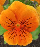 Orange pansy flower Stock Photography