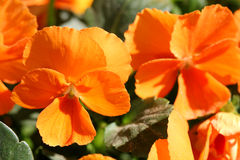 Orange Pansy Flowers Royalty Free Stock Images