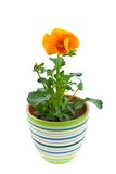 Orange pansy's sprout in ceramic pot Stock Photography