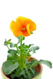 Orange pansy's sprout in ceramic pot Royalty Free Stock Photography