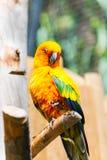 Orange papegoja Royaltyfri Foto