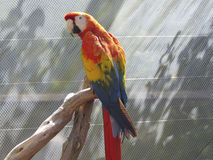 Orange papegoja Arkivfoto